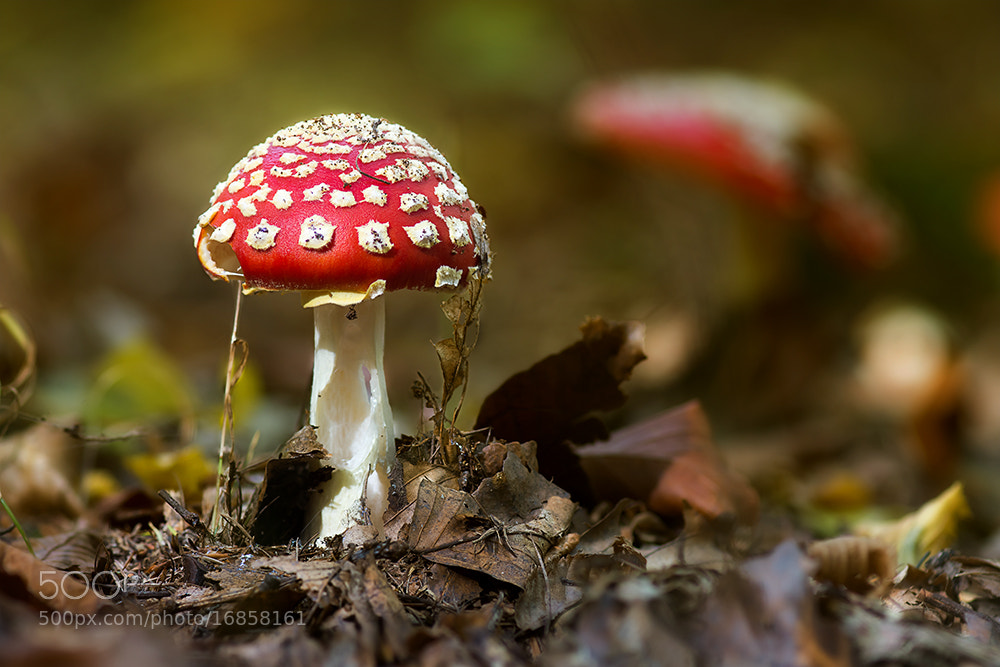 Photograph Fly agaric by Markus Reugels on 500px