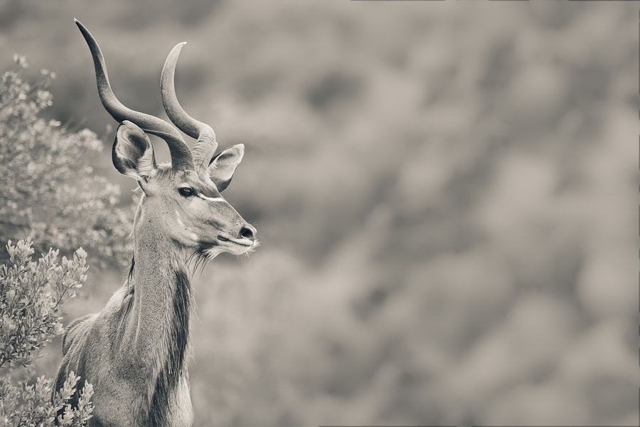 Photograph Kudu in Addo by Mario Moreno on 500px