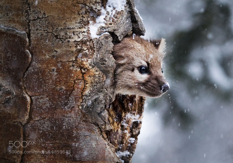 Photograph Pine Marten by Steve Fellows on 500px