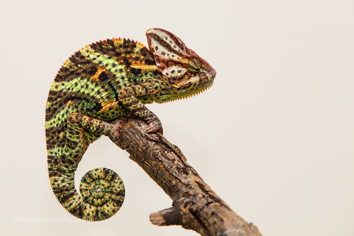 Photograph chameleon by Arturas Kerdokas on 500px