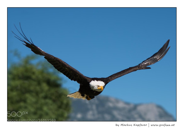 Photograph Eagle by Markus Kapferer on 500px