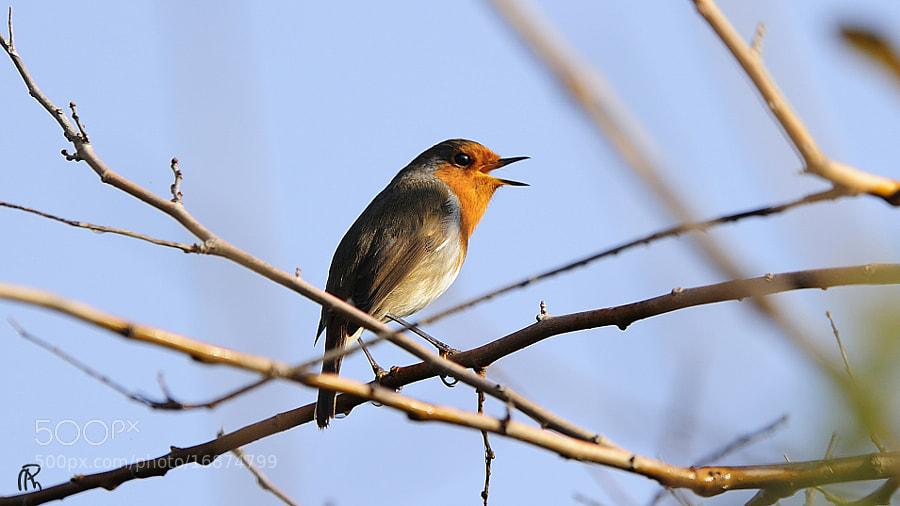 Lone Singer