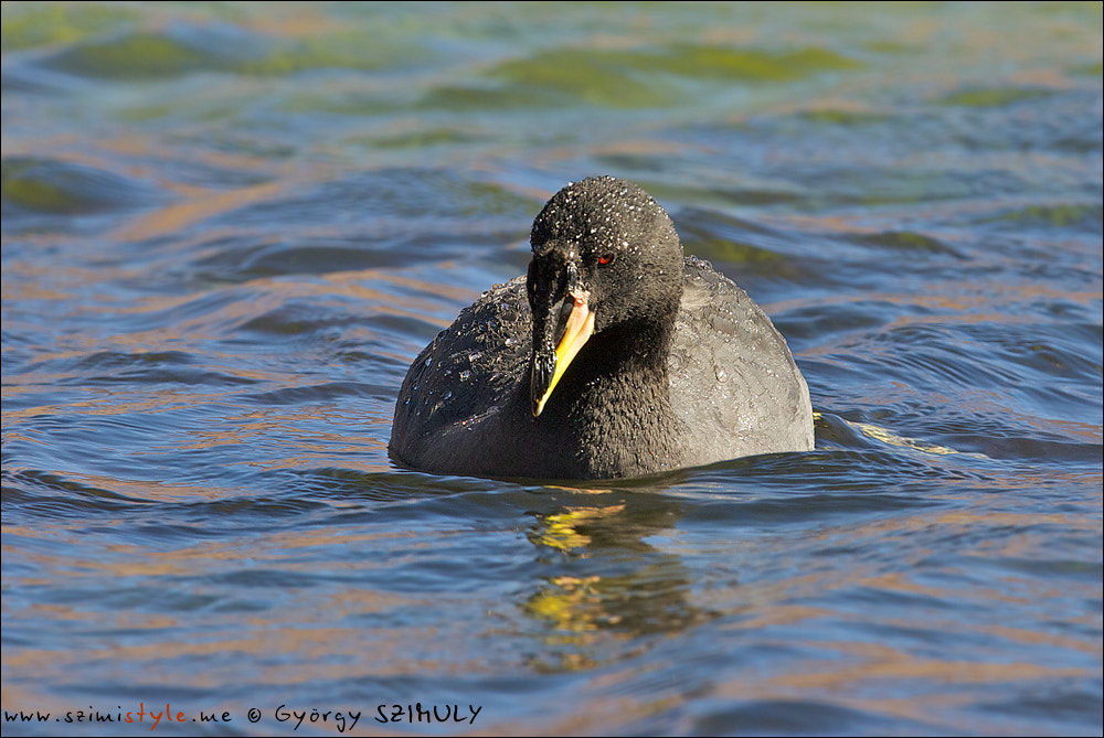 Photograph Horned Coot (Fulica cornuta) by Gyorgy Szimuly on 500px
