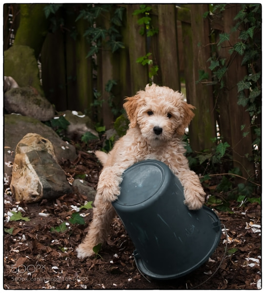 Photograph Our LabraDoodle P by Cor Pijpers on 500px
