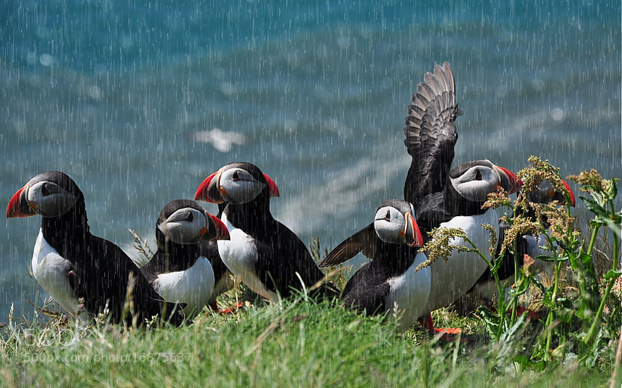 Photograph Atlantic Puffin by Robert Bentia on 500px