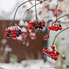 Forgotten berries by Anton Ogorodov (tayfoon)) on 500px.com