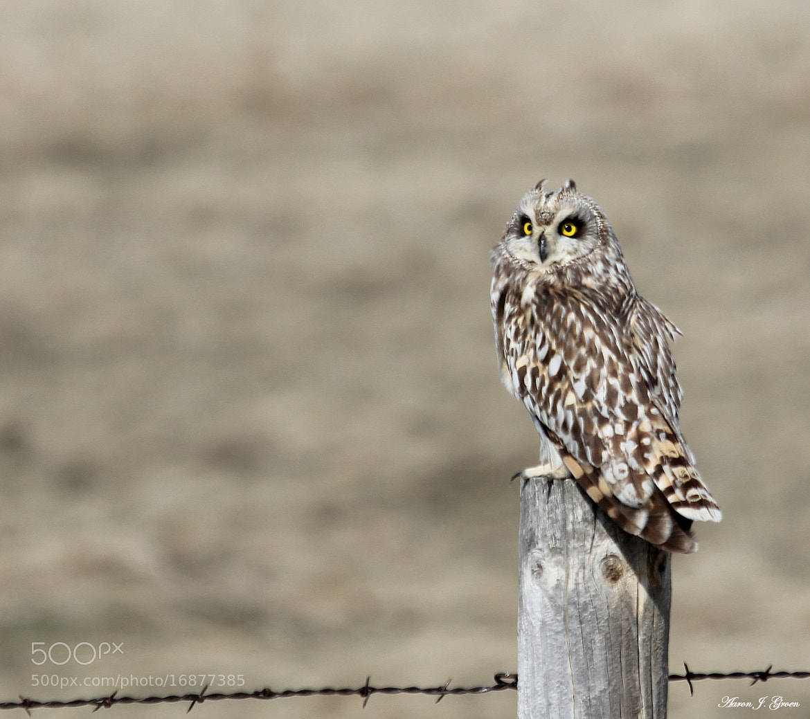 Photograph Short-eared Owl by Aaron J. Groen on 500px