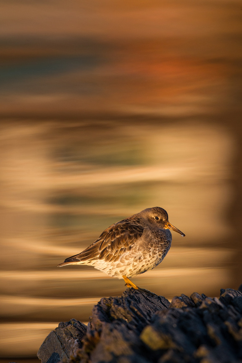 Photograph Purple Sandpiper with Refelctions of Vardø Harbour by Alonza  Garbett on 500px