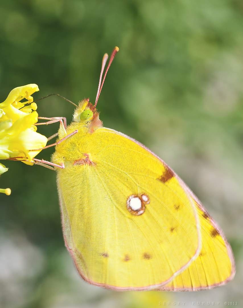 Photograph Butterfly with lemon eye by Sergey Kukuev on 500px