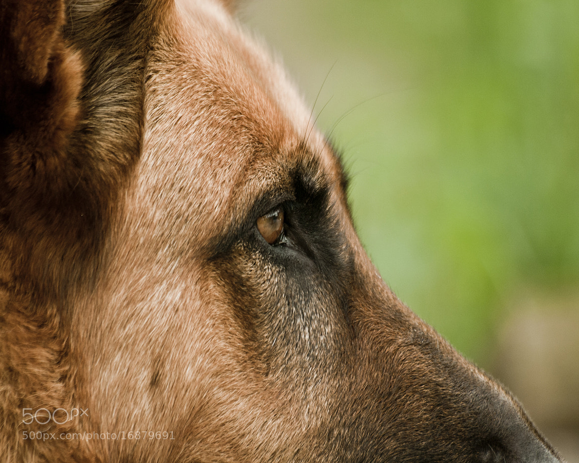 Photograph German Shepherd Dog Ruby by Andrew Davies on 500px