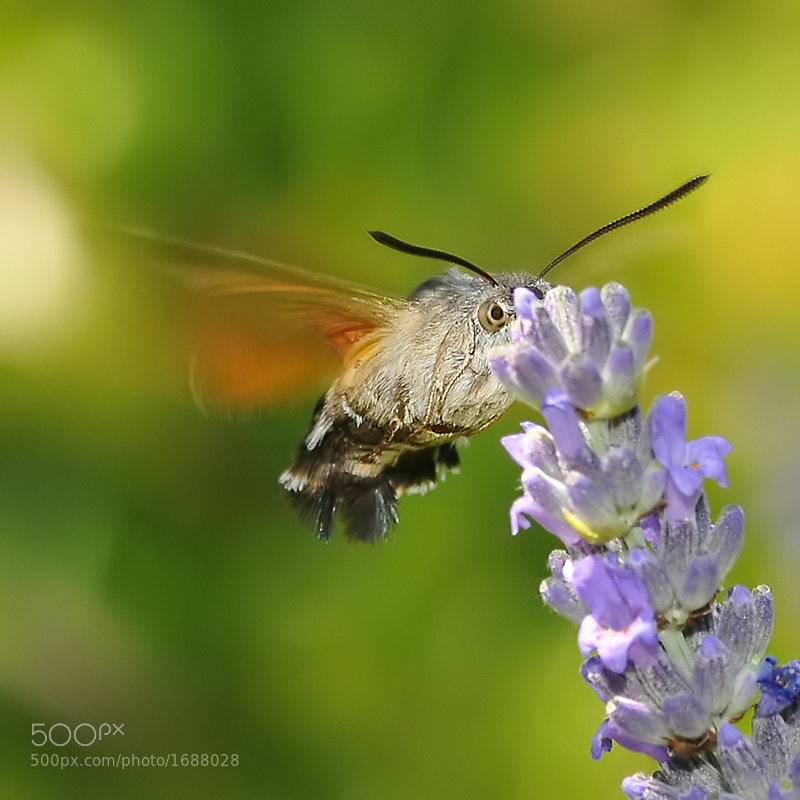 Photograph Hummingbird Hawk-moth by Franco Mottironi on 500px