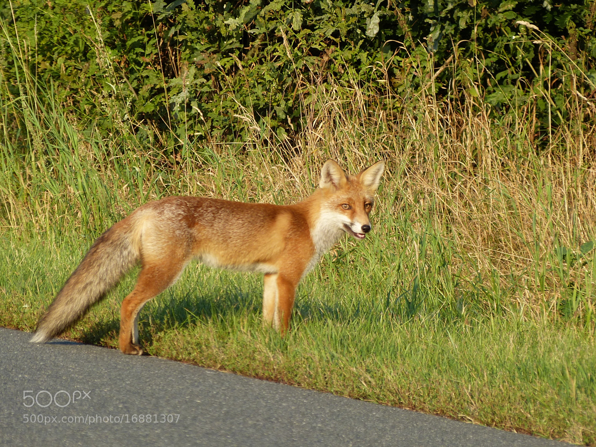 Photograph Fox/Fuchs 01 by Hans-E. Wyrwich on 500px