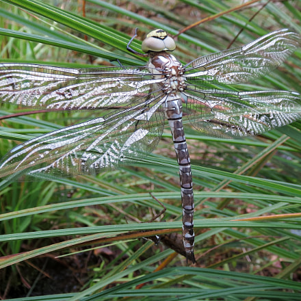 Dragonfly drying its wings, Canon IXUS 500 HS