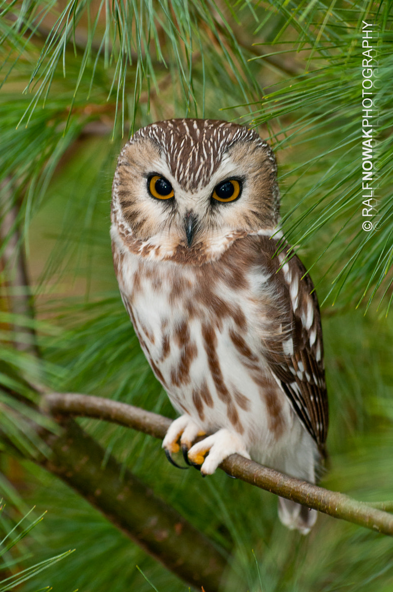 Photograph Saw-whet Owl by Rafal Nowak on 500px