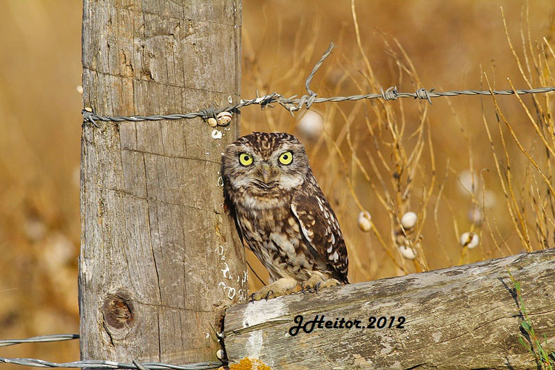Photograph Mocho-galego ......Athene noctua by Jose Heitor on 500px