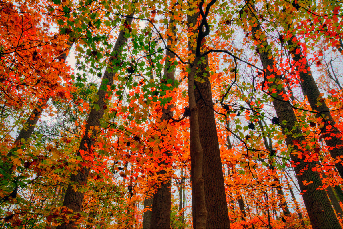 Photograph Maples by Mark Routt on 500px
