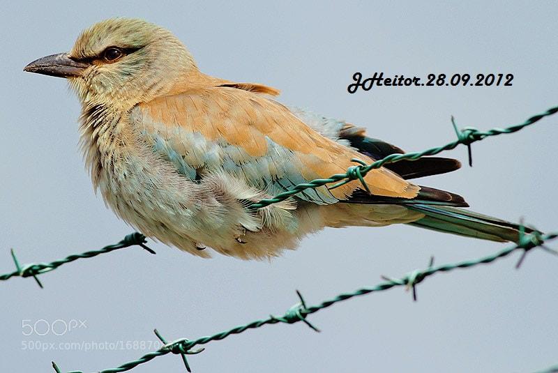 Photograph Rolieiro ... Coracias garrulus by Jose Heitor on 500px