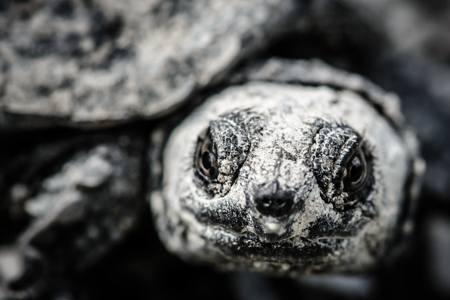 Baby Snapping Turtle Close Up by Jim Elve on 500px.com