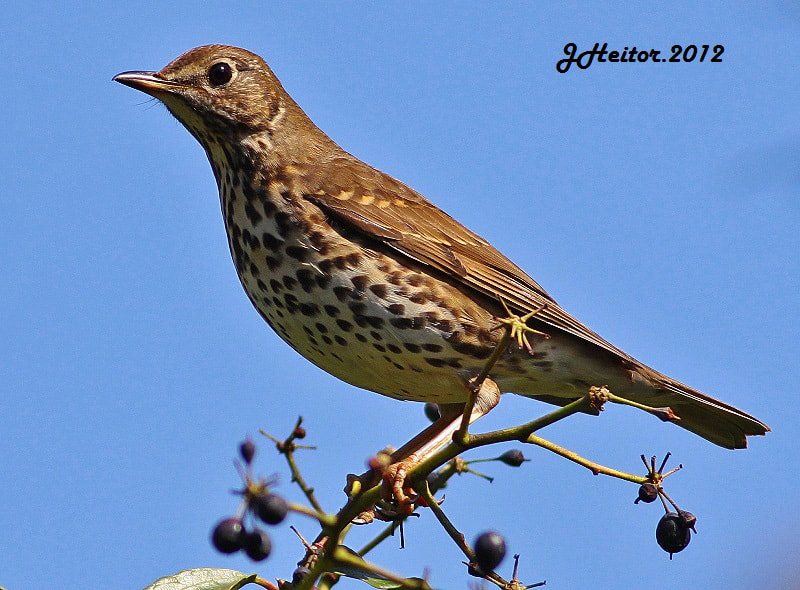 Photograph Tordo-comum  ...Turdus philomelos by Jose Heitor on 500px