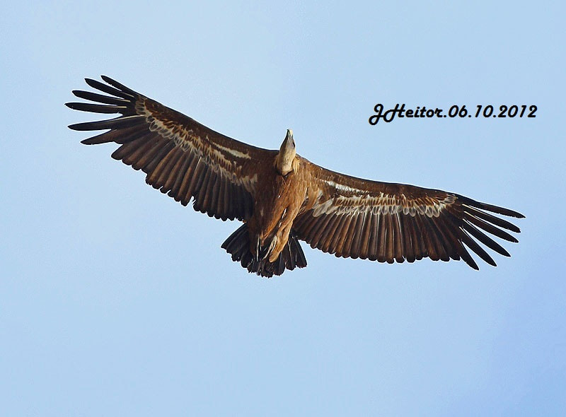 Photograph Grifo ...  Gyps fulvus by Jose Heitor on 500px