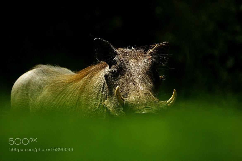 Photograph Warthog 1 by Rudi Hulshof on 500px