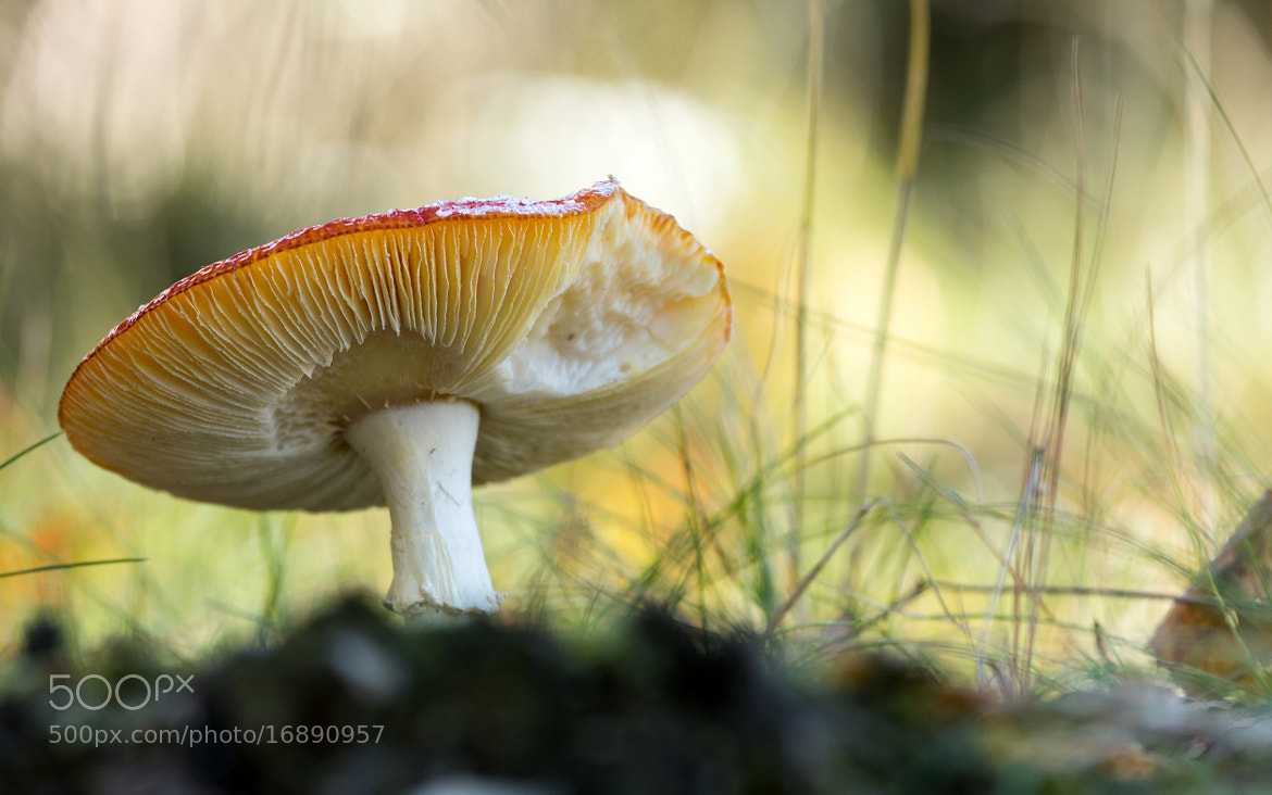 Photograph Amanita muscaria by Jack Skellington on 500px