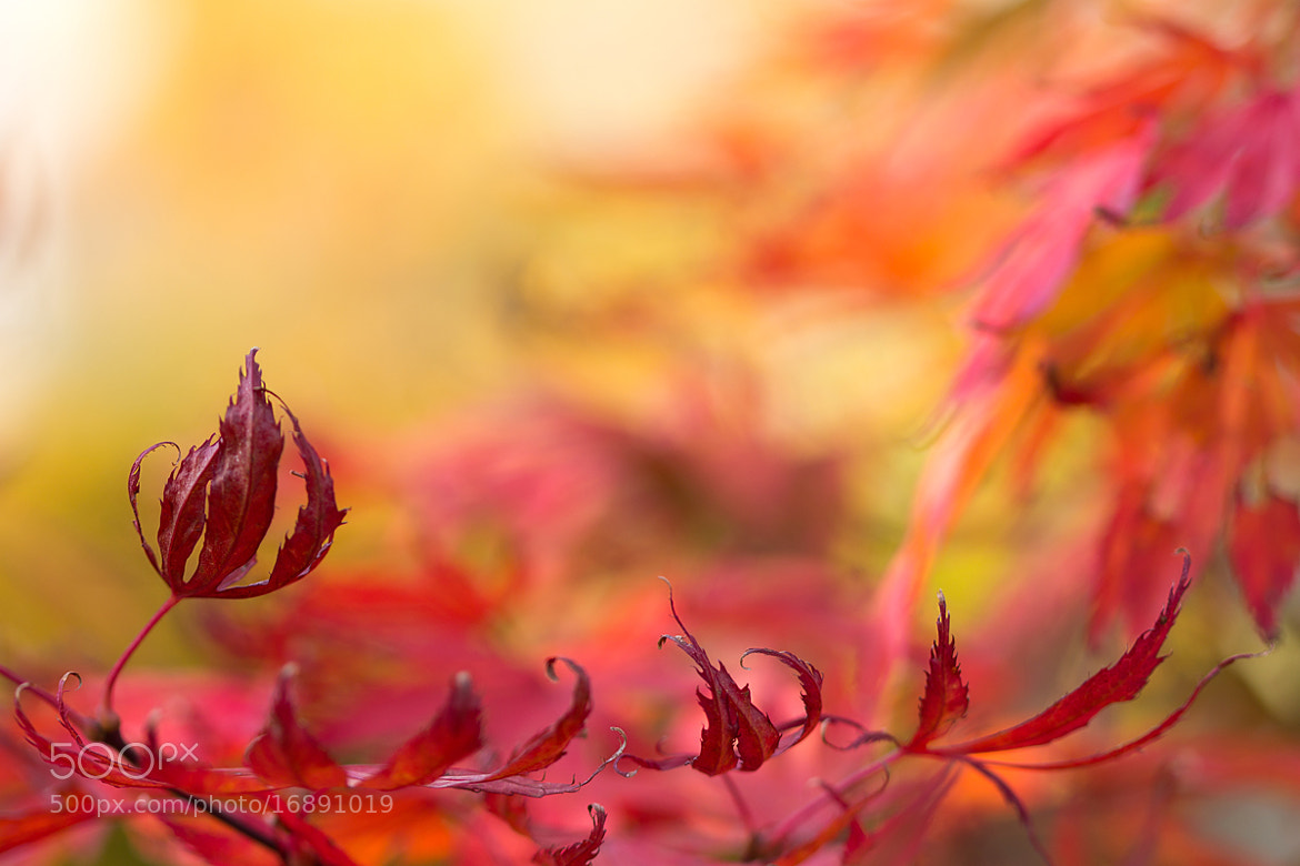 Photograph Acer by Teuni Stevense on 500px