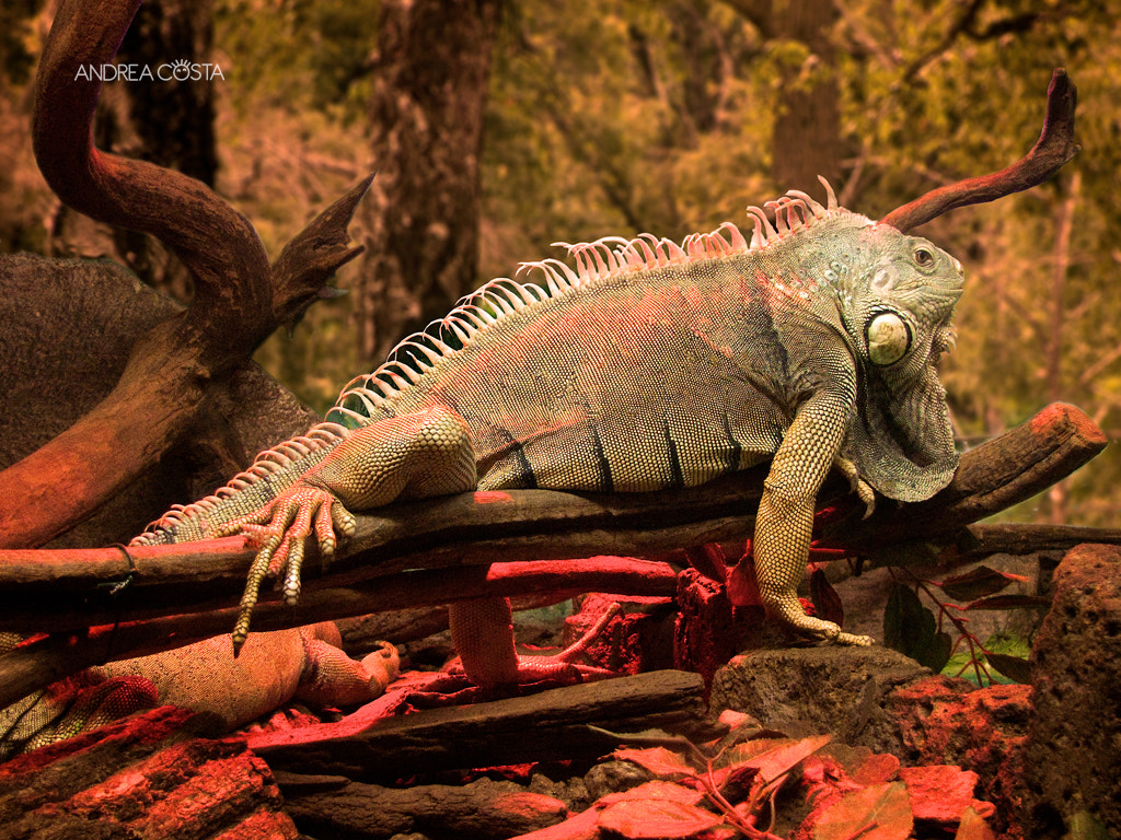 Photograph Iguana by Andrea Costa on 500px