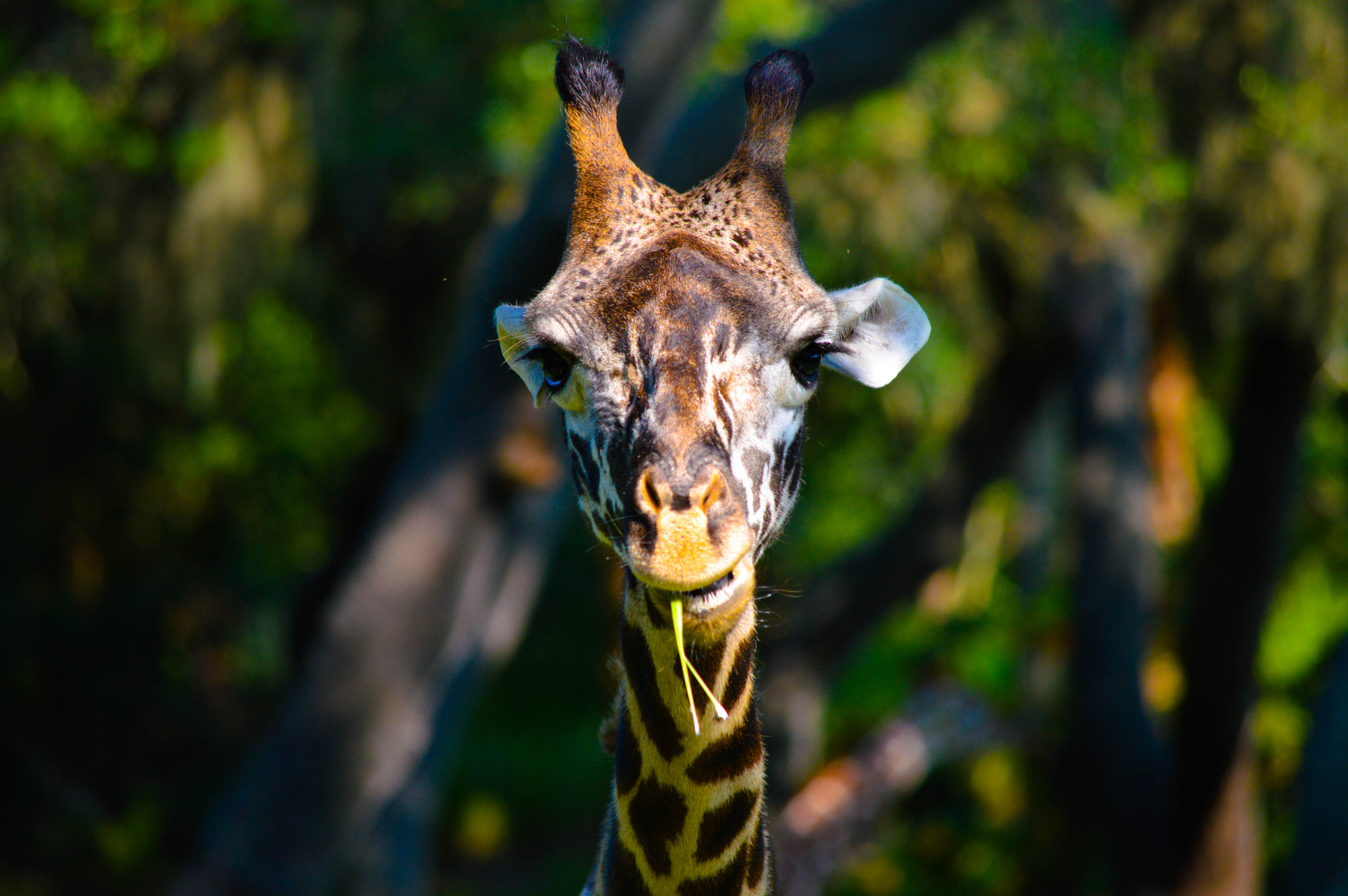 Photograph Giraffe by Bill Schuchman on 500px