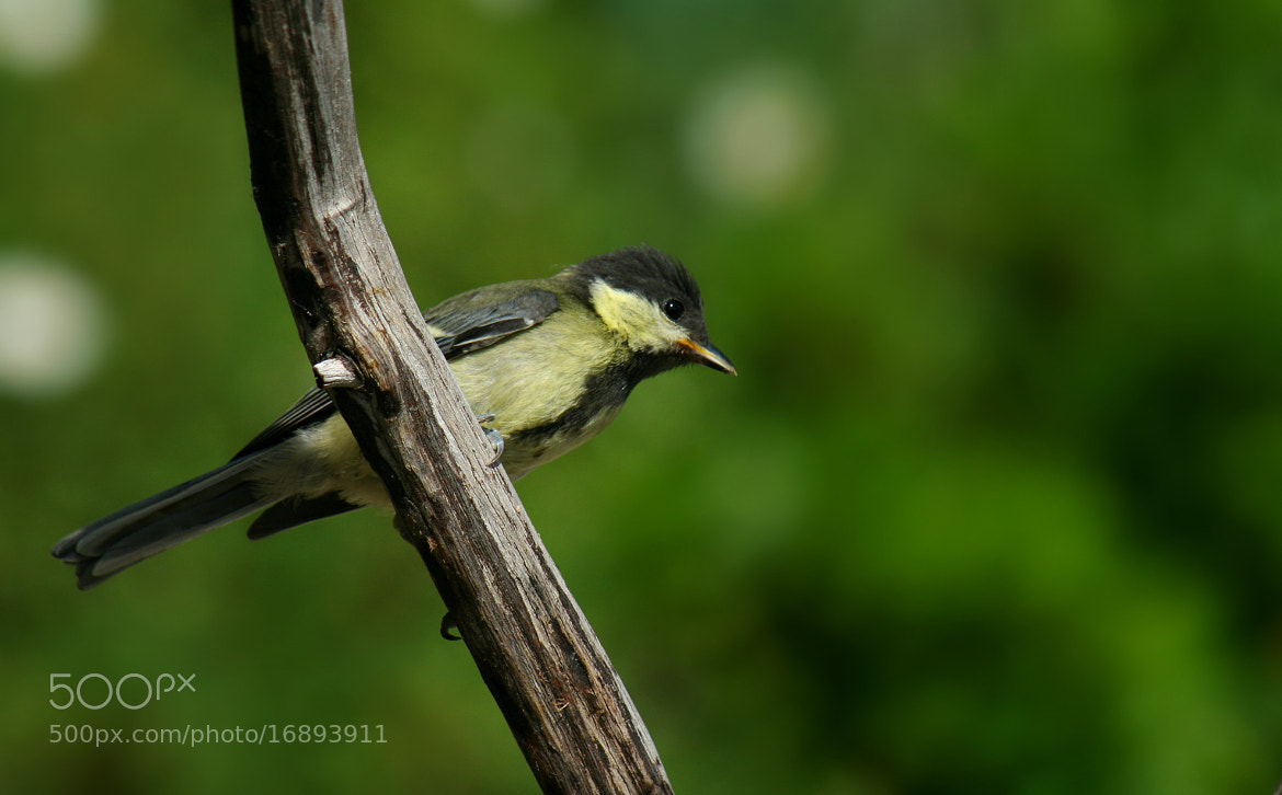 Photograph Young tit by Sandrine Fernandes on 500px