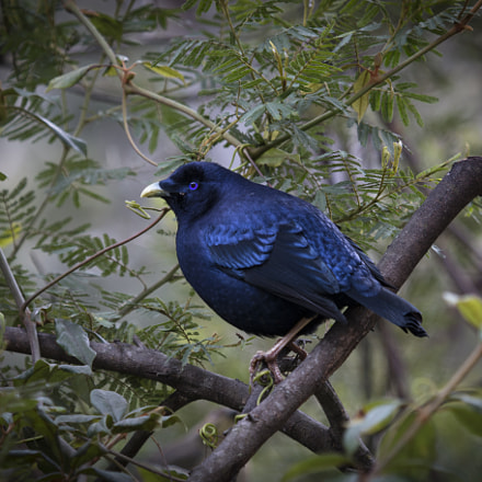 Satin Bower Bird, Canon EOS 70D, EF100-400mm f/4.5-5.6L IS USM