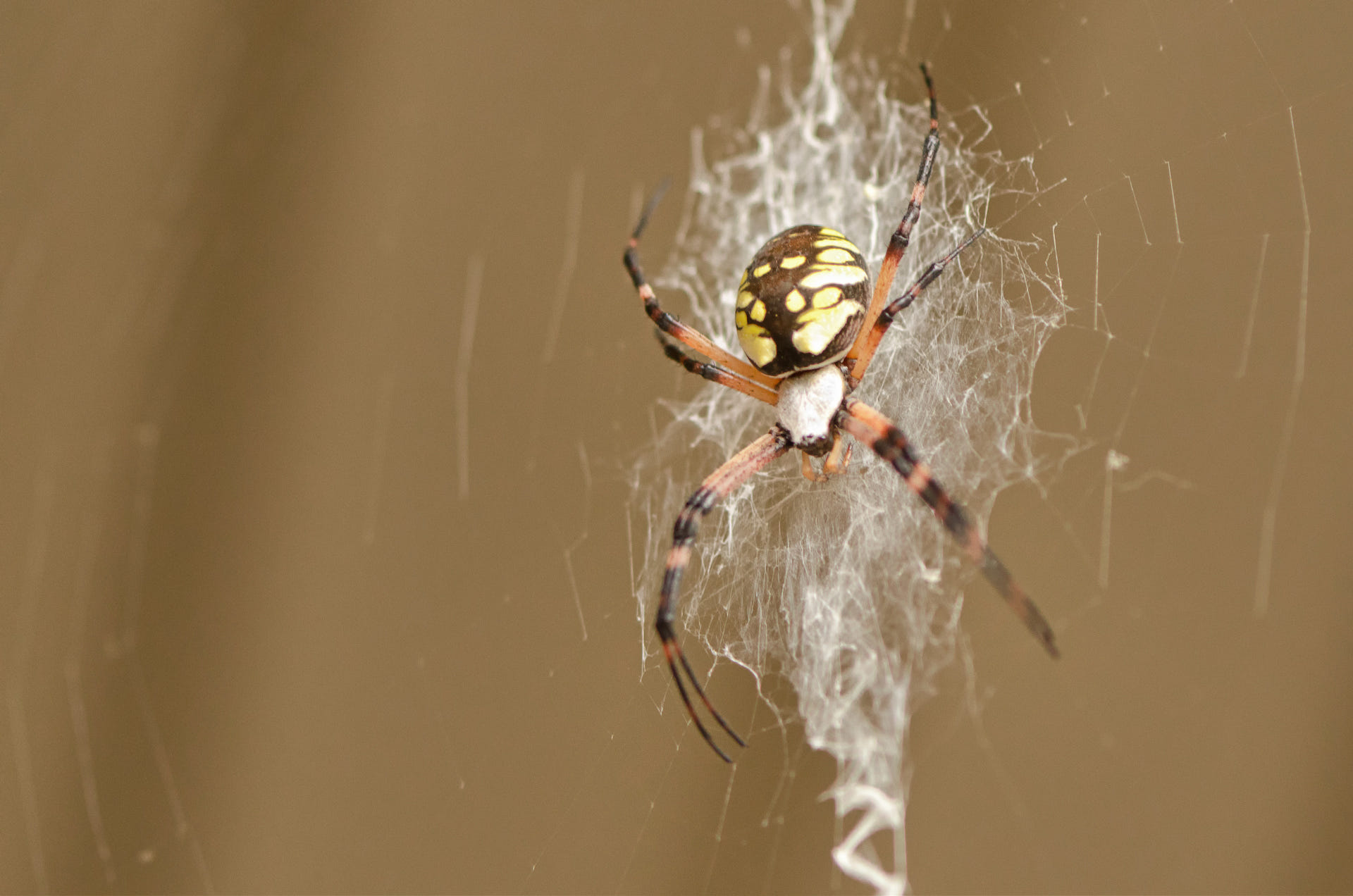 A Pregnant Black and Yellow Garden Spider by Andrew Davis - Photo ...