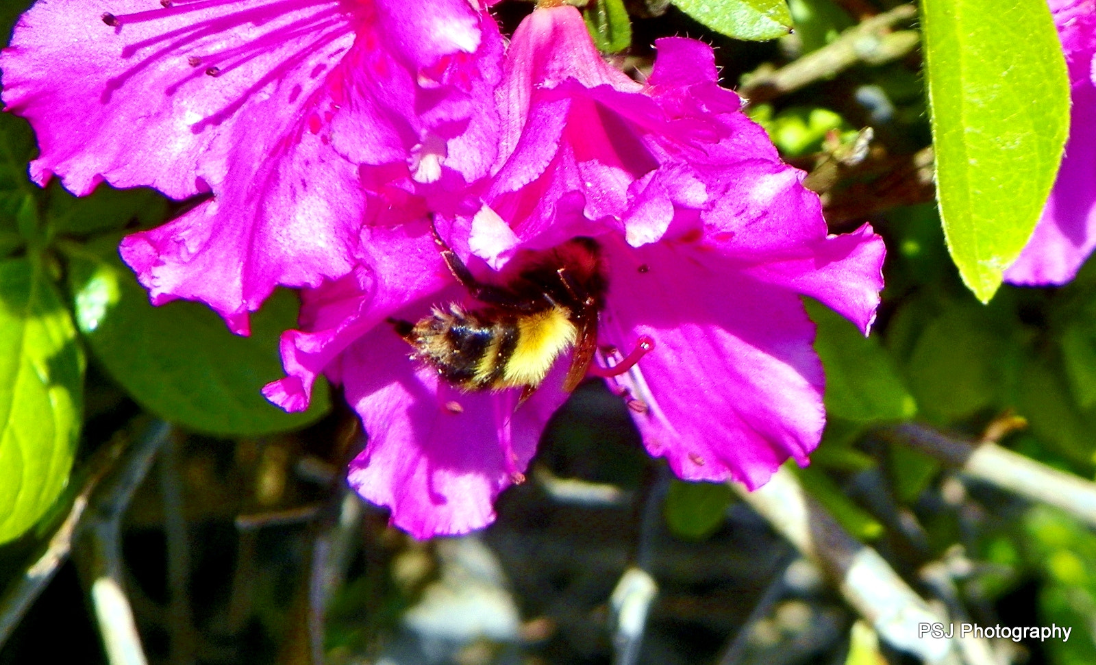 Photograph Bumble Bee by Pam Jones on 500px