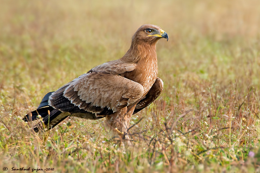 Photograph Indian Spotted Eagle by Santhosh Gujar on 500px