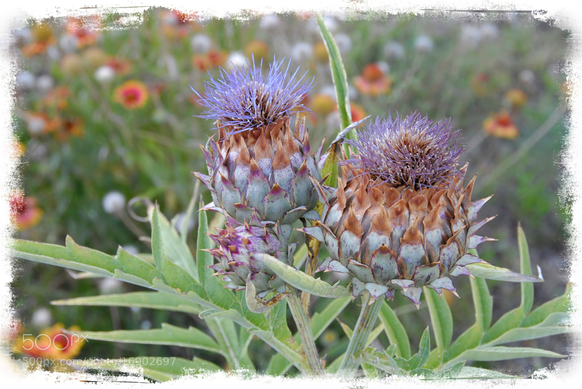 Photograph Wild artichoke by John Barker on 500px