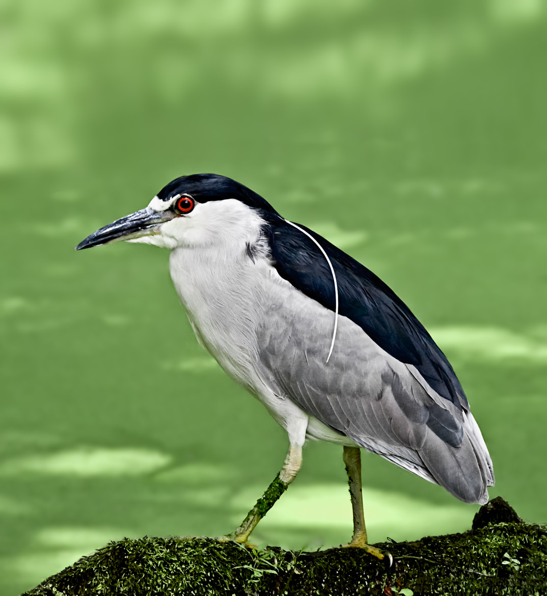 Photograph Black Crowned Night Heron by Steven Kersting on 500px