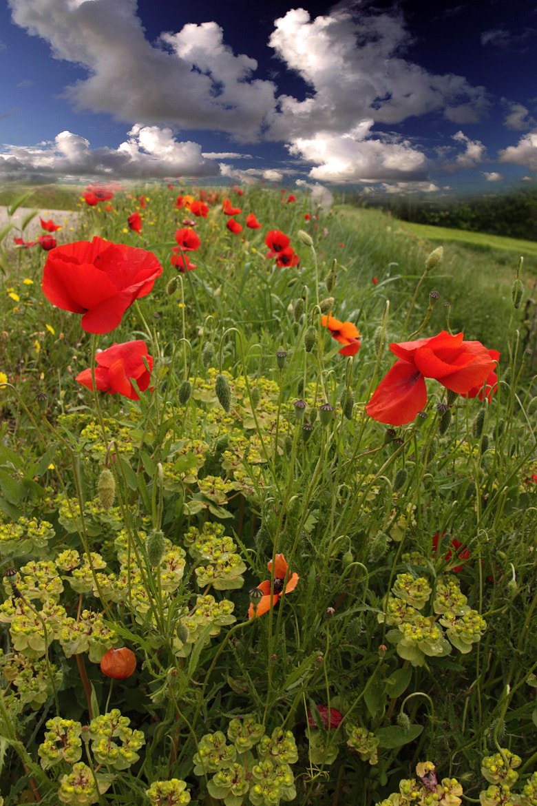 Photograph Poppies by Luciano Sollazzi on 500px