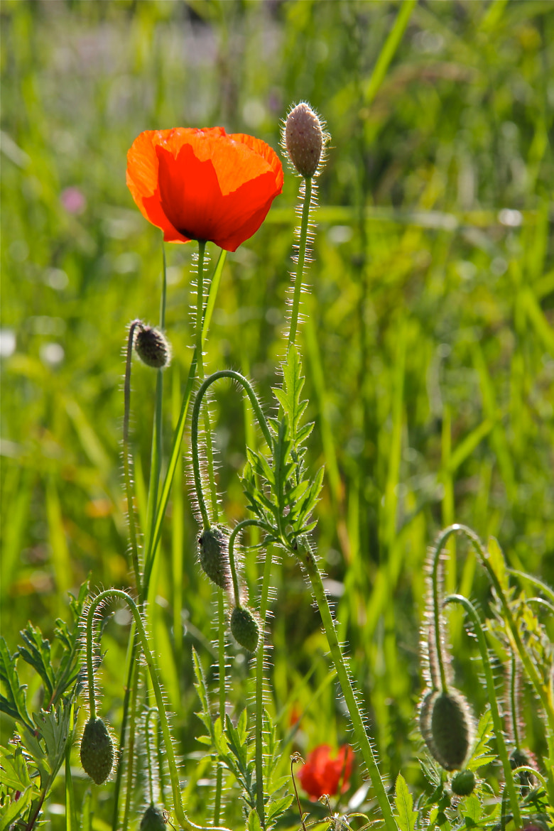 Photograph Poppy Love by Poh Huay Suen on 500px