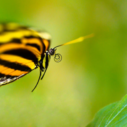 Tiger-striped Longwing Butterfly, Nikon D800, Zoom-Nikkor 1200-1700mm f/5.6-8 P ED IF