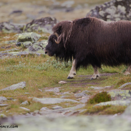 Musk Ox (Ovibos moschatus), Canon EOS 7D, EF100-400mm f/4.5-5.6L IS USM
