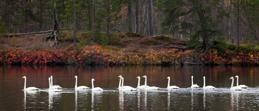 Whooper swans in Lapland by Risto Keränen on 500px.com
