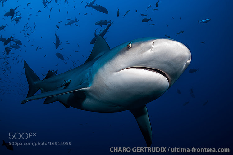 Photograph Bull shark by Charo Gertrudix on 500px