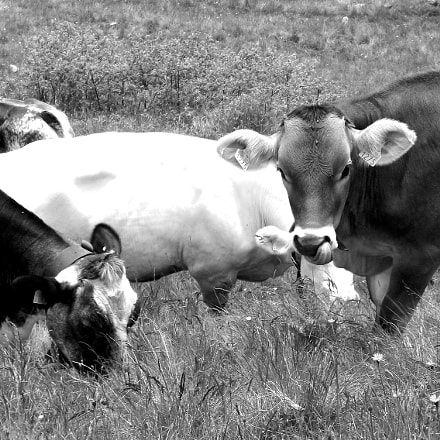 Swiss Cow, Fujifilm FinePix AX300