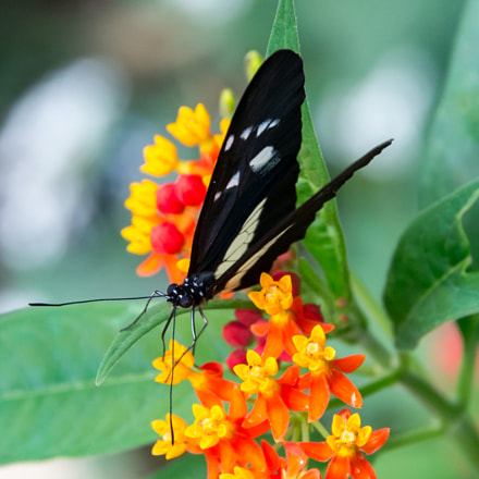 Black butterfly, Canon EOS-1D X, Sigma 24-105mm f/4 DG OS HSM | A