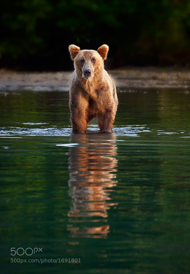 Photograph Last Bear Standing by Ian Plant on 500px