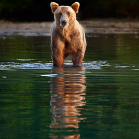 Last Bear Standing by Ian Plant (ianplant)) on 500px.com