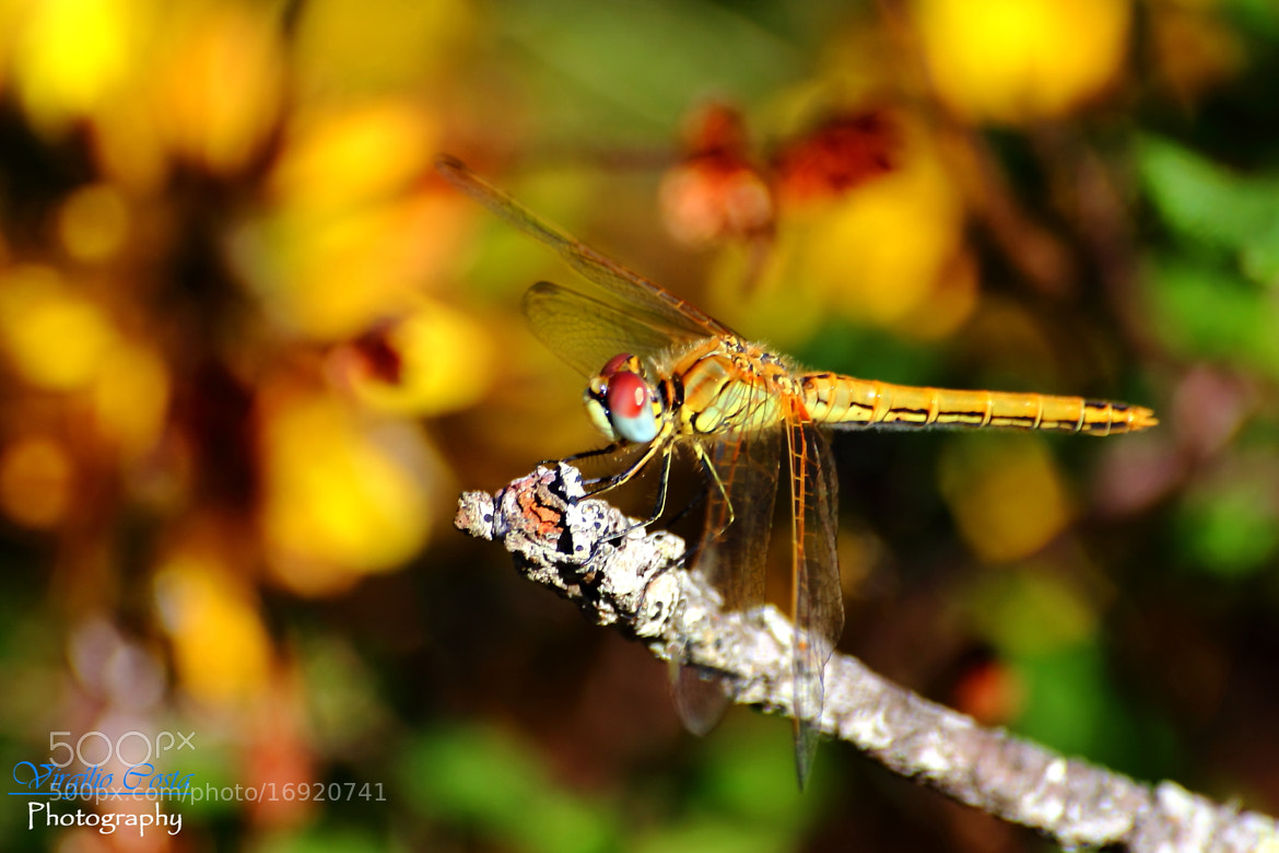 Photograph dragonfly  by Virco [pt] on 500px