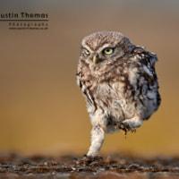 Little Owlet running...