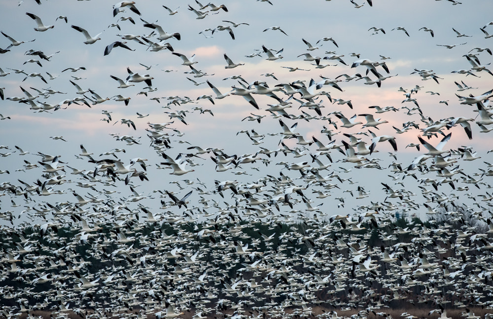 Photograph Snow Goose Migration by Wendy Kennedy on 500px