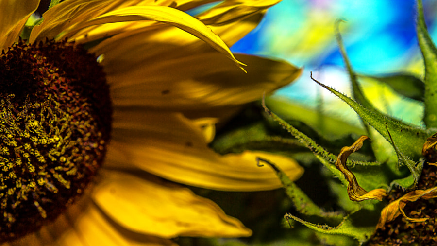 Indoor Sunflower Arangement by Jeff Carter on 500px.com